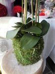 Grandes compos d\'orchidées blanches sur pot fausse mousse  - Occasion du Mariage